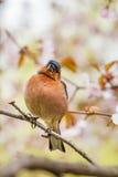 Tentilhão que senta-se na árvore de sakura Fotografia de Stock