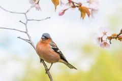 Tentilhão que senta-se na árvore de sakura Imagens de Stock Royalty Free