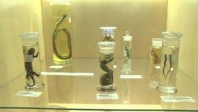 Tentoongestelde voorwerpen van het Wildreptielen stock videobeelden