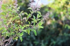 Tenuiflorum Orimum & x28; Цветок базилика или Tulsi& x29; Стоковые Фото