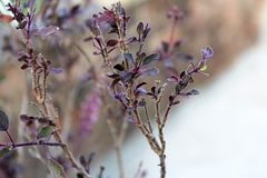 Tenuiflorum Orimum & x28; Цветок базилика или Tulsi& x29; Стоковая Фотография