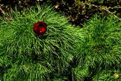 Tenuifolia del Paeonia imágenes de archivo libres de regalías
