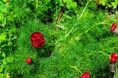 Tenuifolia di Paeonia che sboccia nel giardino immagine stock libera da diritti