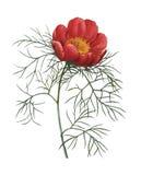 Tenuifolia Paeonia | Απεικονίσεις λουλουδιών Redoute Στοκ εικόνα με δικαίωμα ελεύθερης χρήσης