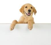 Tenuta del cane di golden retriever su un bordo in bianco bianco Fotografia Stock