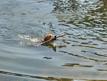 Tenuta del cane un bastone in acqua Fotografia Stock Libera da Diritti