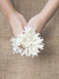 Tenuta del fiore bianco a disposizione Immagini Stock