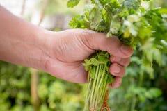 Tenuta dell'uomo con le verdure organiche sane Fotografia Stock