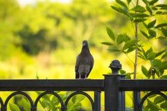 Tenuta della colomba di Gray sul recinto Fotografia Stock