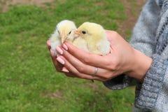 Tenuta della mano che si preoccupa per i piccoli polli Fotografia Stock
