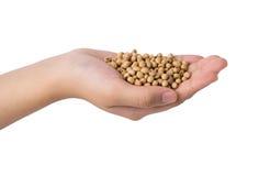 Tenuta della mano del fagiolo della soia su bianco Fotografie Stock