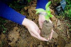 Tenuta della pianta piccola Fotografia Stock Libera da Diritti