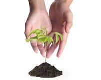 Tenuta della pianta verde Fotografia Stock