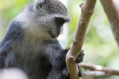 Tenuta della scimmia di Sykes sul ramo di albero fotografia stock libera da diritti