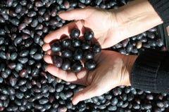 Tenuta delle olive nere Fotografie Stock Libere da Diritti
