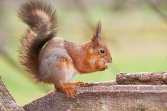 Tenuta dello scoiattolo rosso un dado in zampe e nelle prove per spaccarla che si siede su un tronco di un albero Immagini Stock