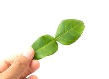 Tenuta disponibila delle foglie della calce del Kaffir Immagine Stock Libera da Diritti