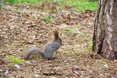 Tenuta grigio scuro dello scoiattolo in sue zampe un dado Fotografia Stock Libera da Diritti