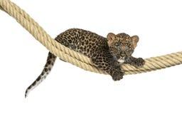 Tenuta macchiata su una corda, vecchio 7 settimane del cucciolo del leopardo Immagini Stock