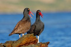 Teo Blakish oystercatcher, Haematopus ater, with oyster in the bill, black water bird with red bill. Bird feeding sea food, in the. Nature Stock Photo