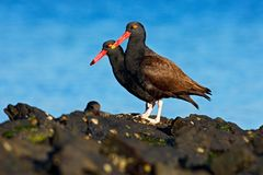 Teo Blakish oystercatcher, Haematopus ater, with oyster in the bill, black water bird with red bill. Bird feeding sea food, in the. Teo Blakish oystercatcher Royalty Free Stock Image