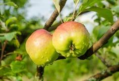 Teo jabłka na gałąź Zdjęcia Royalty Free