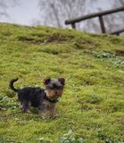 Teodor The Yorkie photos libres de droits