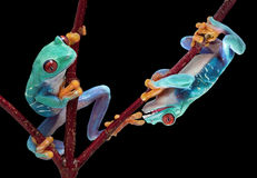 Tep mordante d'amis de grenouille Image libre de droits