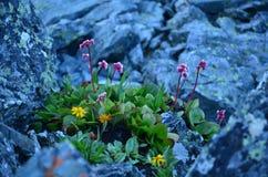 Tephroseris turczaninowii w przedpolu Obrazy Royalty Free