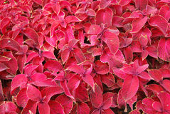Teppich der roten Blumen Stockfoto