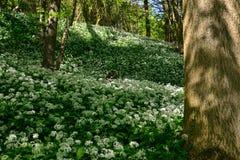 Teppich des blühenden wilden Bärnknoblauchs in Savelsbos, Holland Lizenzfreie Stockbilder