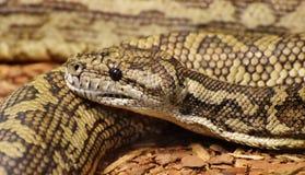 Teppich-Pythonschlangen-Morelia-spilota lizenzfreie stockfotos