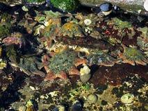 Teppich-Seestern, Patiriella calcar Lizenzfreies Stockbild