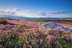 Teppich von Heide auf Simonside-Hügeln Stockfoto