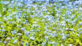 Teppich von kleinen blauen Blumen Stockbild