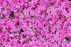 Teppich von kleinen purpurroten Blumen Stockfotografie