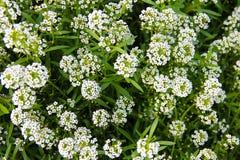 Teppich von kleinen weißen wohlriechenden Blumen - alissum Stockbild