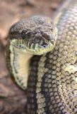 Teppichpythonschlangenschlange Stockbild