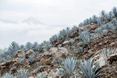 Tequila agawy krajobraz Zdjęcie Stock