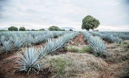 Tequila agawy krajobraz Zdjęcia Royalty Free