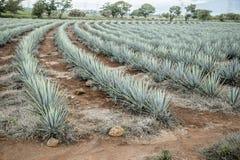 Tequila agawy krajobraz Obrazy Stock