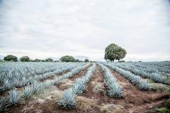 Tequila agawy krajobraz Zdjęcia Stock