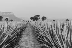 Tequila agawy lanscape Obrazy Stock