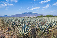 Tequila agawy lanscape Obrazy Royalty Free