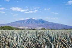 Tequila agawy lanscape Obraz Stock