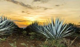 Tequila agawy lanscape zmierzch zdjęcia stock