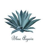 Tequila blue agave. Realistic vector illustration for label, poster, web Stock Photography