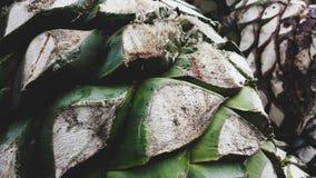 Tequila d'agave image libre de droits