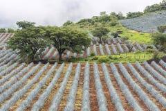 Tequila, Jalisco, México: imagem de stock royalty free