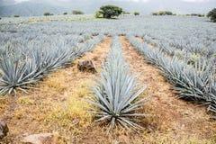 Tequila, Jalisco, Meksyk: Zdjęcie Royalty Free